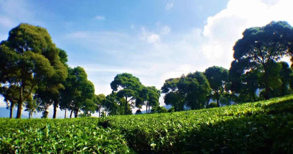 Kebun Teh Bandung Yang Super Hits 2020