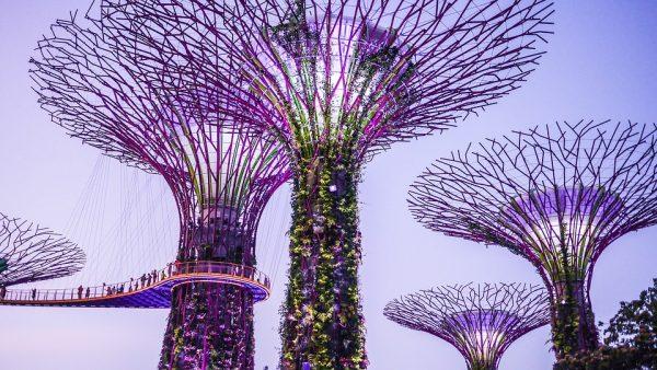 pohon raksasa singapura